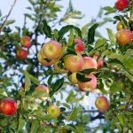Apple Antics: a Neurotic Foray into Urban Foraging
