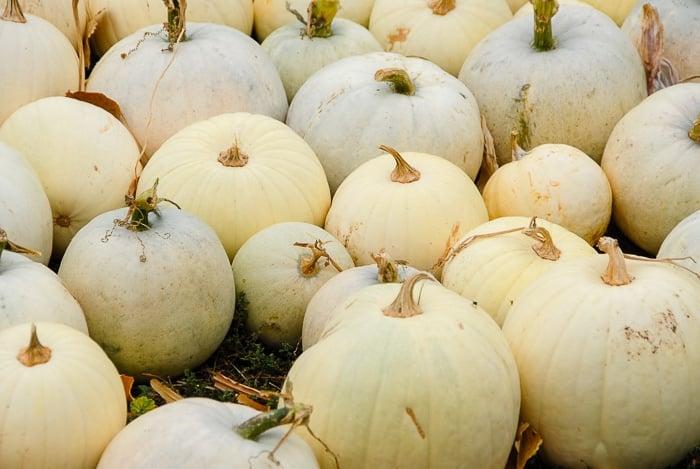 loukonen farms white pumpkins