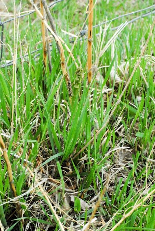 wild asparagus in grass