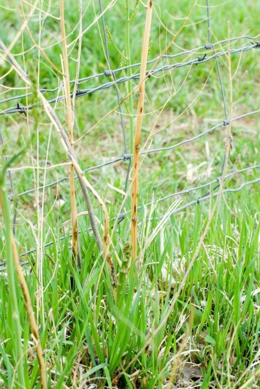 new wild asparagus near old dead plant