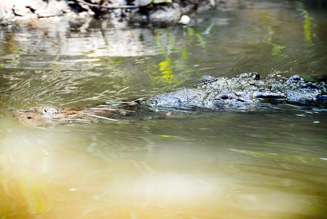 Crocodile, Palo Verde National Park, Costa Rica - BoulderLocavore.com