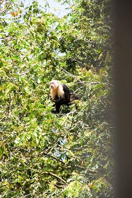 Howler Monkey, Palo Verde National Park, Costa Rica - BoulderLocavore.com