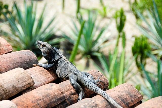 Iguana, Palo Verde National Park, Costa Rica - BoulderLocavore.com