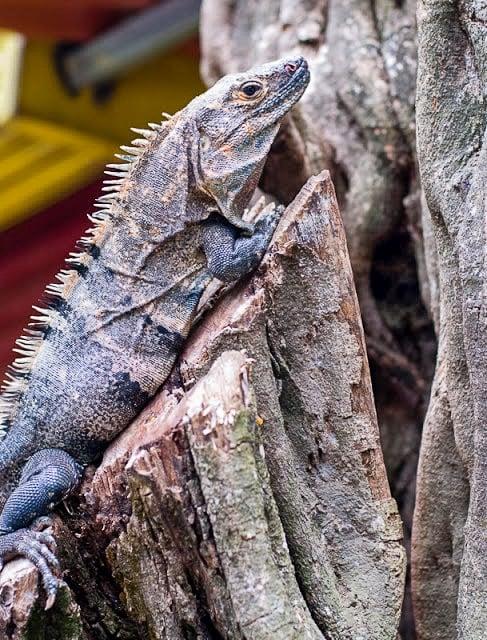 Tamarindo Costa Rica iguana