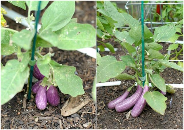 fairytale eggplant in garden