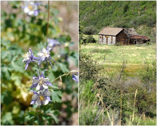 A close up of a columbine flower and a barn