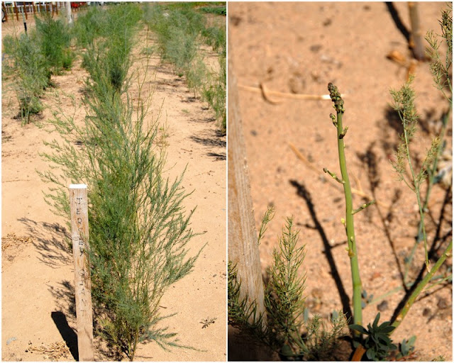asparagus plants at farm