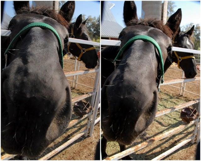 Percheron Horses | BoulderLocavore.com