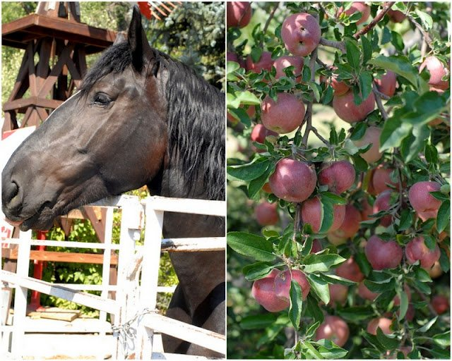 2 photo collage with black Percheron Horse on left and U Pick Apples on trees on right