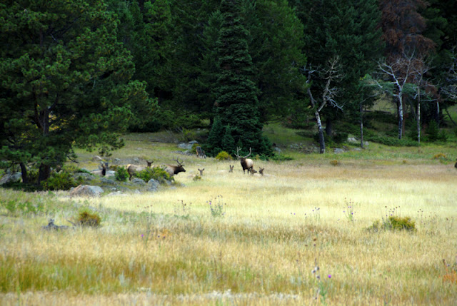 A group of wild elk grazing on a lush green field
