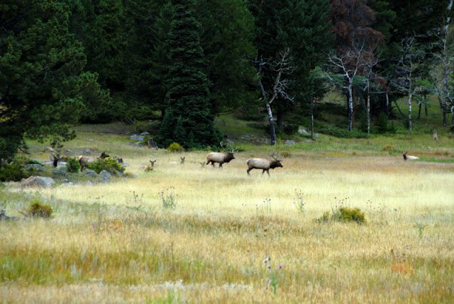 A herd of elk standing on top of a lush green field
