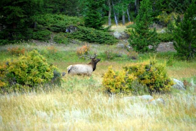 A herd of elk walking across a lush green field