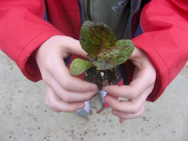 Child\'s hands holding pot of lettuce