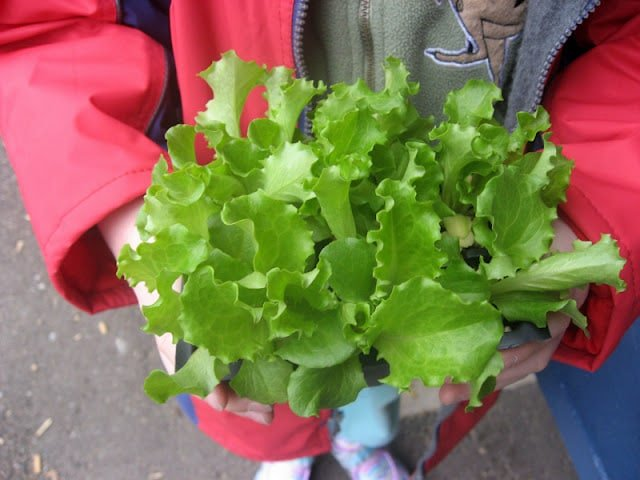 School Garden-to-Table Lettuce Planting | BoulderLocaovre.com