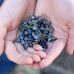 Juniper Berry picking for Rob's Mountain 'Growing Gardens' Gin (and cocktail recipe!)