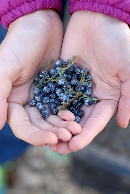 Picking Juniper Berries BoulderLocavore.com