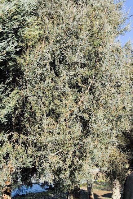 Large juniper bushes with juniper berries