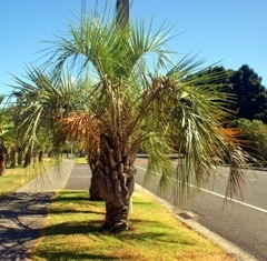 A palm tree on the side of a road
