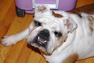 Lola the english bulldog