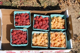 baskets of pick your own raspberries - red and golden