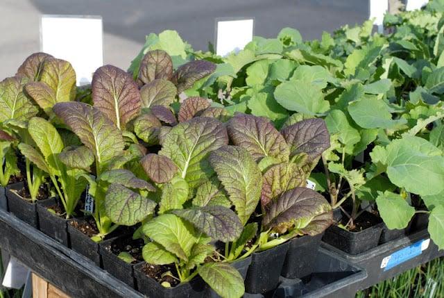 lettuce starters