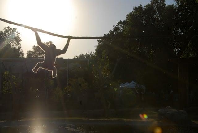 monkey climbing on a rope