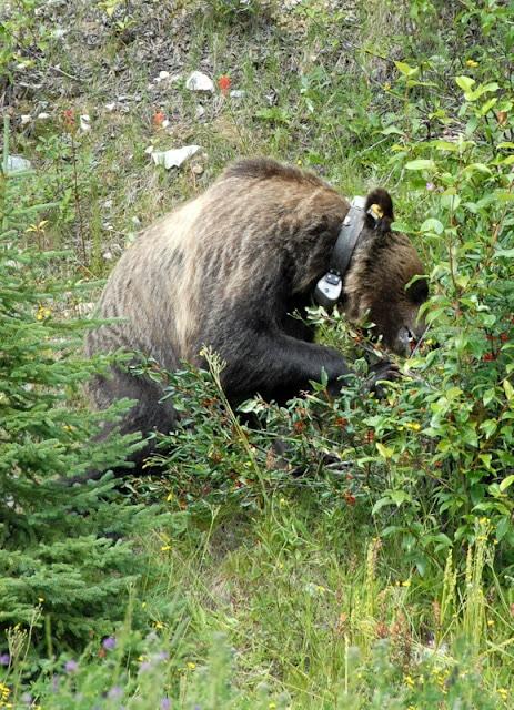 Grizzly Bear Alberta Canada | BoulderLocavore.com