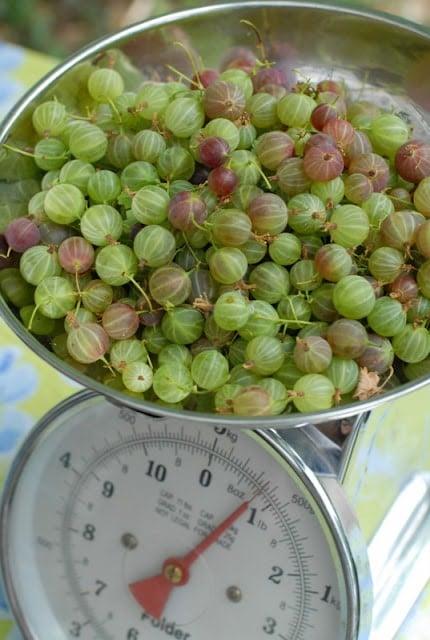 gooseberries in silver scale bowl