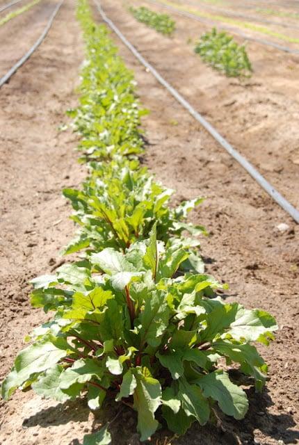row of plants at farm