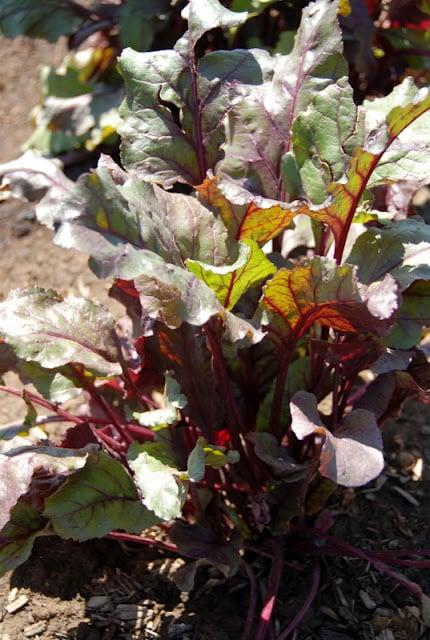 A close up of chard plants
