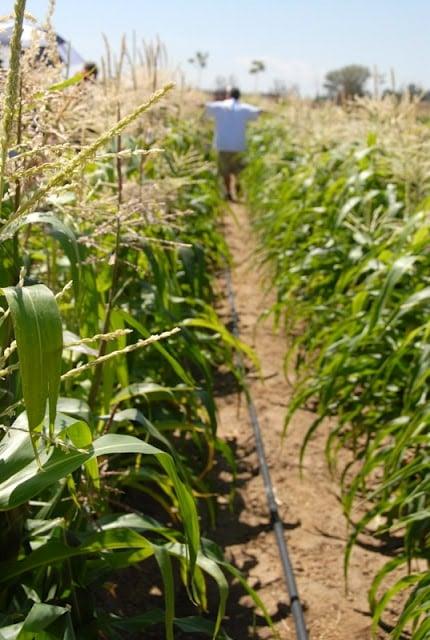 rows of corn plants