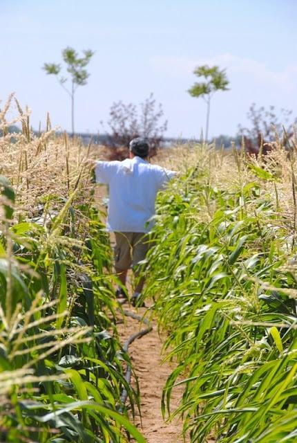 man walking down a row of corn plants