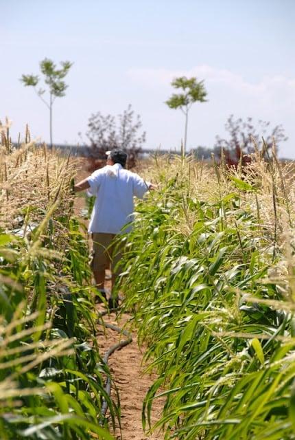 a person walking down corn plants