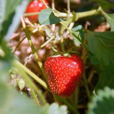 A close up of a strawberry