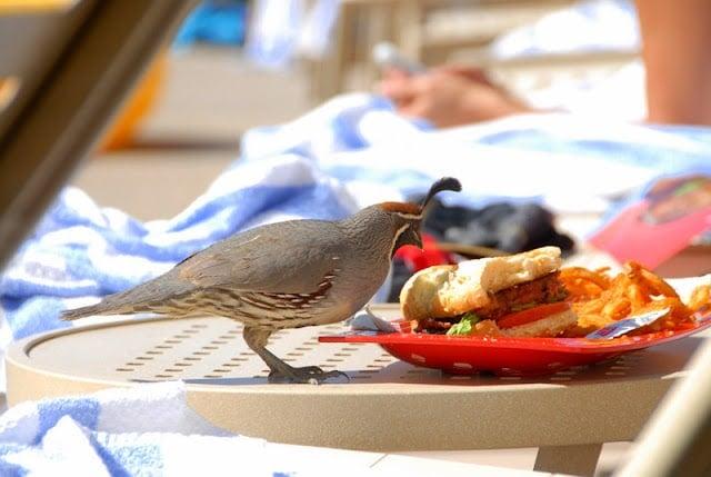 Quail eating Hamburger | Boulderlocavore.com
