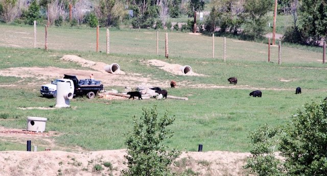 Wild Animal Sanctuary Colorado (Grizzly and Black Bears) BoulderLocavore.om