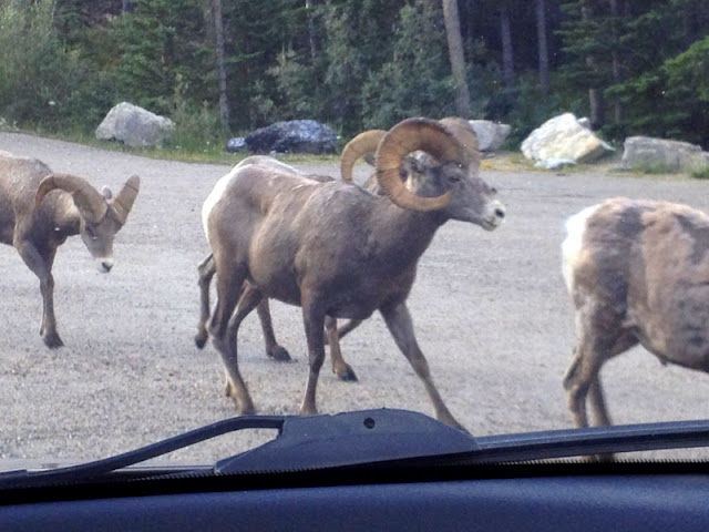 Big Horn Sheep Alberta Canada | BoulderLocavore.com