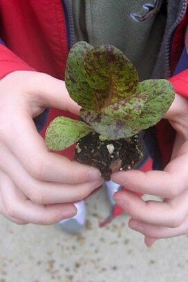little lettuce plant held by a child
