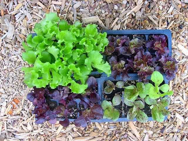 small lettuce starters