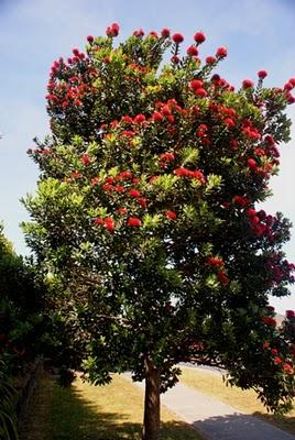 New Zealand Christmas Tree (Pohutakawas) | BoulderLocavore.com