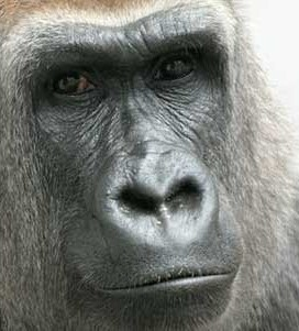 A close up of gorilla looking at the camera