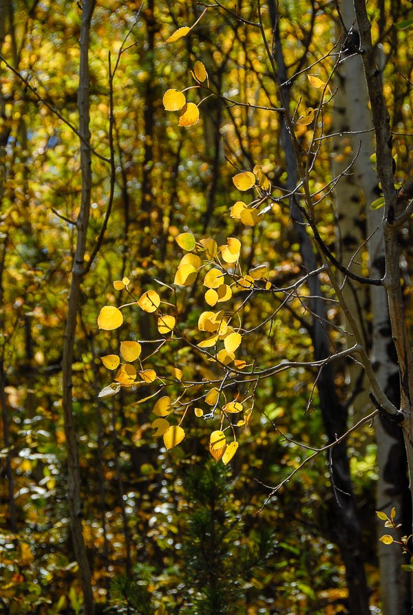 aspen leaves in the fall Colorado