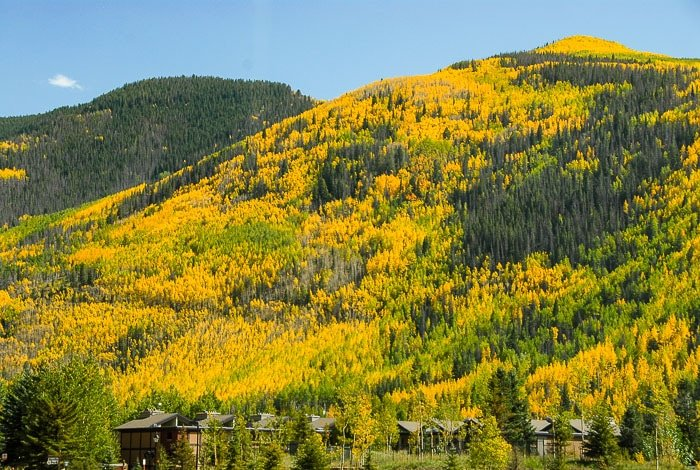 Aspen and evergreen trees in the fall - Vail Colorado