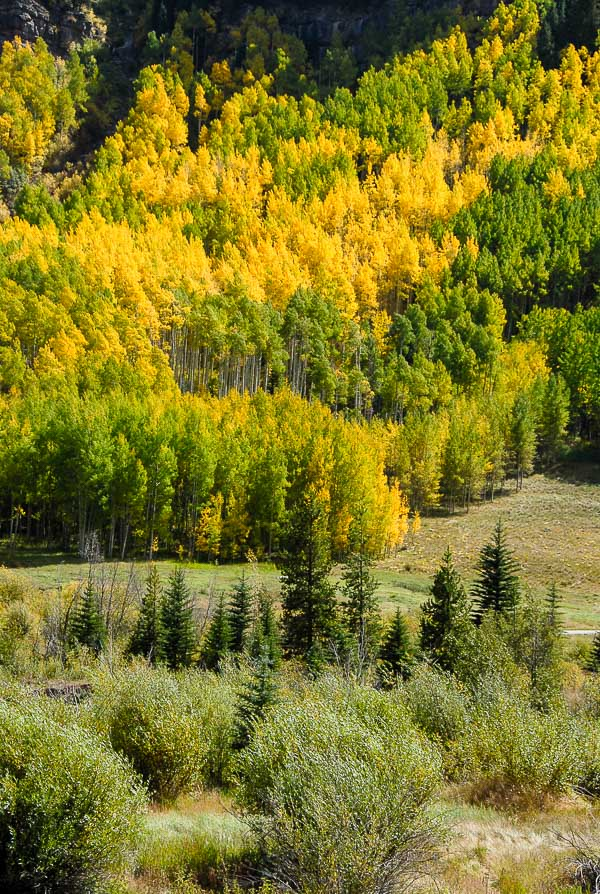 fall aspen trees in Vail