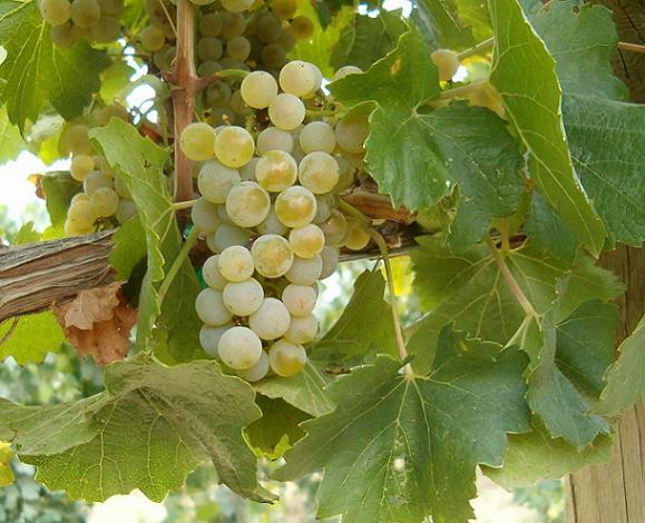 A close up of a grape vine