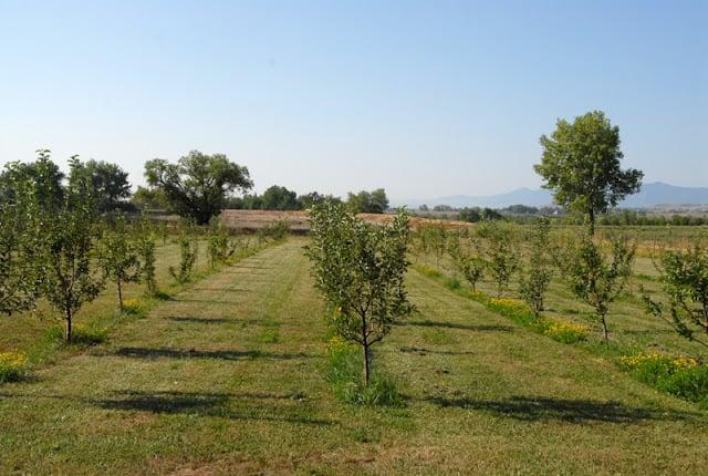 Apple trees at Ya Ya Farm Colorado | BoulderLocavore.com