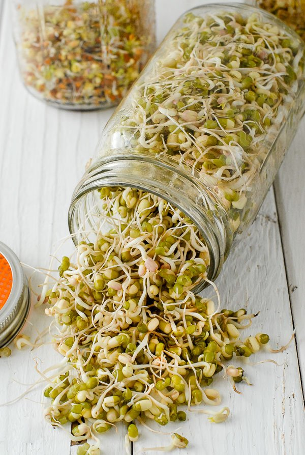 Mung bean sprouts in homemade sprouting jar