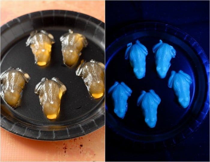 Glowing Candy Corn Vodka Jello Frogs (shots) | BoulderLocavore.com
