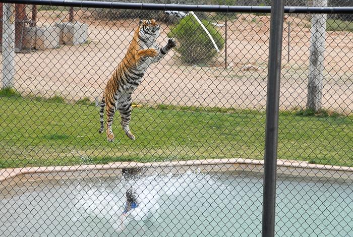 Tiger Splash Out of Africa Park
