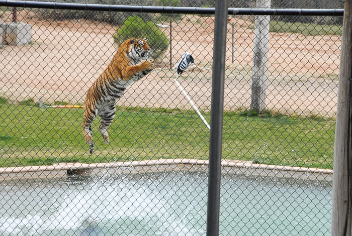 Tiger Splash Out of Africa Park jumping